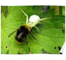 Dorsata Hummel Hunting Victims Spider Nature Poster