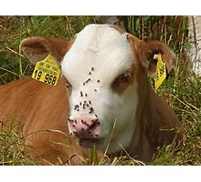 Calf Cow Animal Nature Fly Pasture Nose Photographic Print