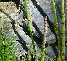 Scouring Rush Horsetail Plant Rock Nature by HQPhotos