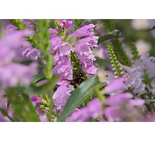 Flowers Garden Insect Hummel Pink Photographic Print