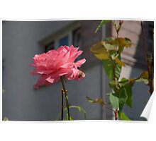 Rose Pink Insect Single Poster