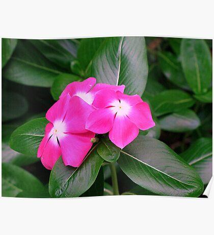 Flower Pink Nature Macro Poster