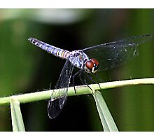 Orthetrum boumiera (Brownwater Skimmer) Photographic Print