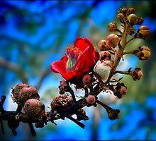 red silk cotton tree flower by carol brandt