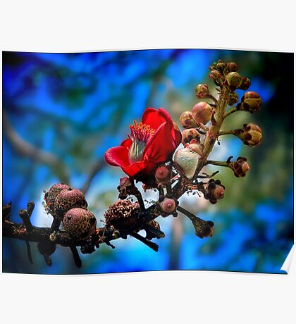 red silk cotton tree flower Poster