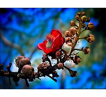 red silk cotton tree flower Photographic Print