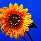 Stylized Sunflower by Paul Wolf