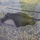 The Little Stingray by dsimon