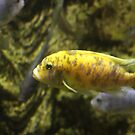 Yellow fish by dsimon