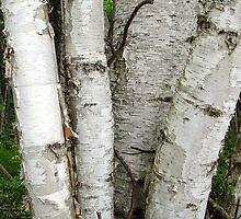 Birch Cluster by Brenda Hagenson