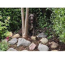 Bailey - The Patterdale (Fell Terrier) III Photographic Print