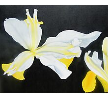 White and Yellow Iris On a Black Background Photographic Print