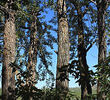 Tall balsam poplar trees by Jim Sauchyn