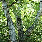 White Birch Tree by Jim Sauchyn