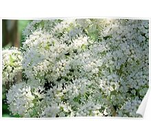 Woodland Angelica Poster