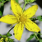 St. John&#x27;s Wort by Kathleen M. Daley