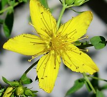 St. John's Wort by Kathleen Daley