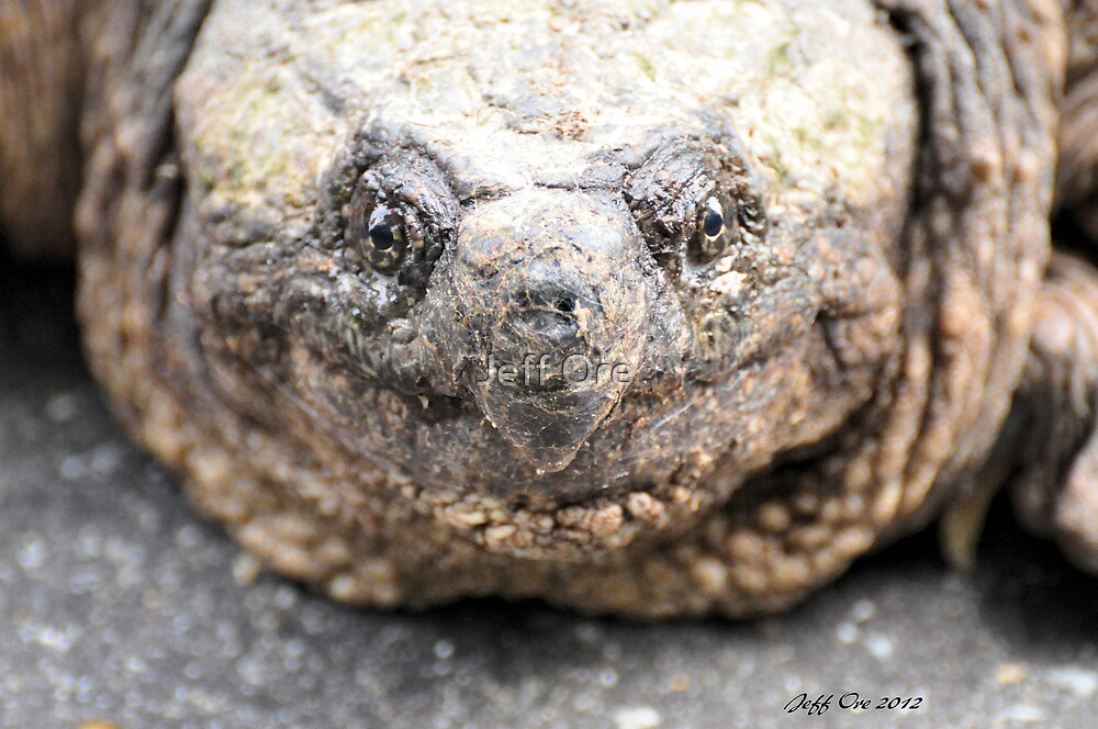 Alligator Snapping Turtle (Closeup) by Jeff Ore