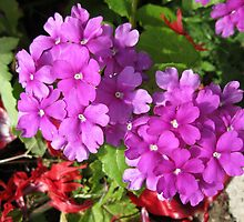 Pink Verbena Beauties by kathrynsgallery