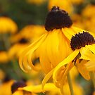 wild susans by Linda  Makiej
