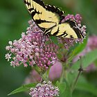 Tiger Swallowtail butterfly by John Wright