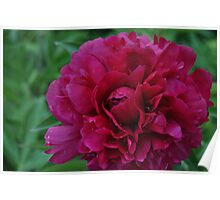 Russia Peony Poster