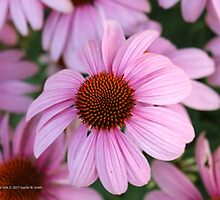 Echinacea Angustifolia - Blacksamson Echinacea   Center Moriches, New York by © Sophie W. Smith