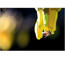 Bee and Kowhai flowers in the evening Photographic Print