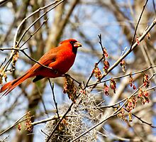 Cardinal in Tree by clizzul