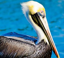 Pelican in Water by clizzul