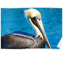 Pelican in Water Poster