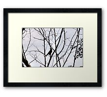Robin with a light blue background Framed Print