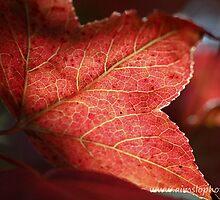 Liquidambar Leaf by -aimslo-