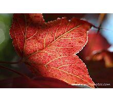 Liquidambar Leaf Photographic Print