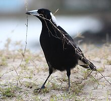 Australian Magpie by -aimslo-
