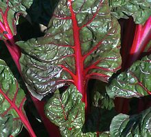 Swiss Chard Study No. 1 by Max Buchheit