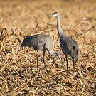 Sandhill Cranes  2015-1 by Thomas Young