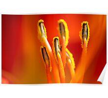 Warm Daylily Poster
