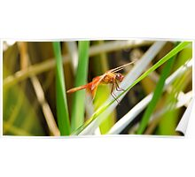 Red Flaming Dragon(fly) Poster