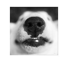 Molly - English Bull Terrier Photographic Print
