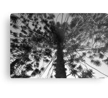Norfolk Pine Metal Print