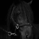 Black Stallion by Fleur Hallam