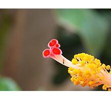 hibiscus:) Photographic Print