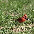 Cardinal Feeding by Barry W  King