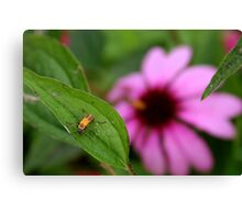 Insect and Echinacea Blossom Canvas Print