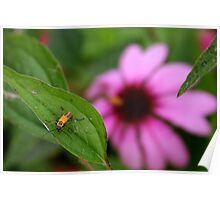 Insect and Echinacea Blossom Poster