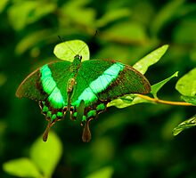 Speckled green butterfly by Animoia