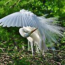 Majestic Egret by Kathy Baccari