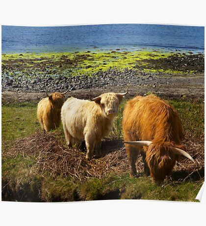 Trio of Hairy Coos Poster