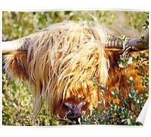 Bullish Hairy Coo Poster